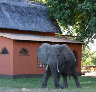 Young elephant at chalets small.jpg