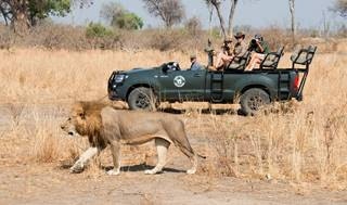 Shenton Safaris' Game Drive 24 - Lion.jpg
