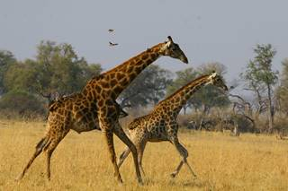 Running Giraffe Hwange National Park - African Bush Camps.jpg