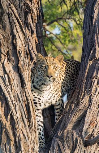 leopard in tree 2.jpg