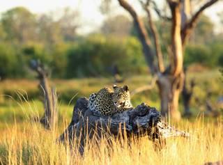 BIG5 leopard_on_a_trunk_khwai_tented_camp_botswana_african_bush_camps__2.jpg