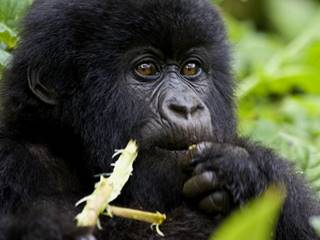 A-Young-Gorilla-Eating-1024x768.jpg