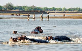 Shenton Safaris' Walking Safaris 33 - Hippo.jpg