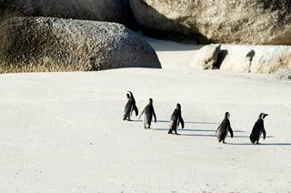 Penguins at Boulders Beach, Simonstown, South Africa.jpg