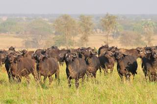 cape buffalo largest concentration in the world-kidepo park.jpg